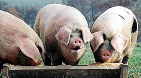 pigs_trough.jpg